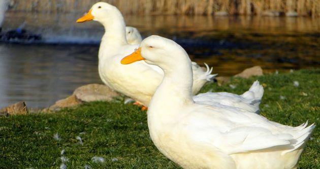 Kuş gribi İngiltere'de görüldü