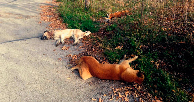 Çankaya'daki köpek itlafına soruşturma