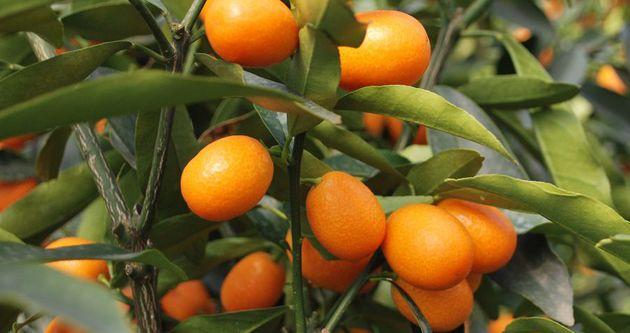 Altın Portakal'ın kilosu 20 liraya çıktı