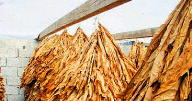 Tütün üretiminin lideri Manisa