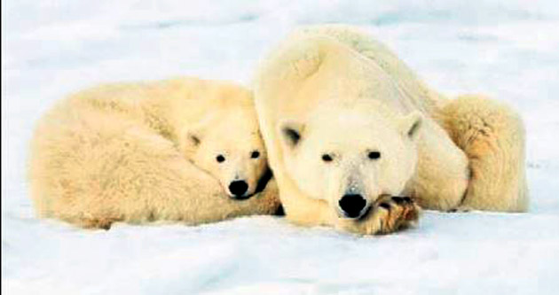 Kutup ayısına iklim tehdidi