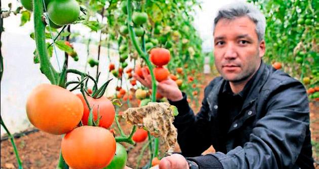 Bu domateslerde ilaç kullanılmadı