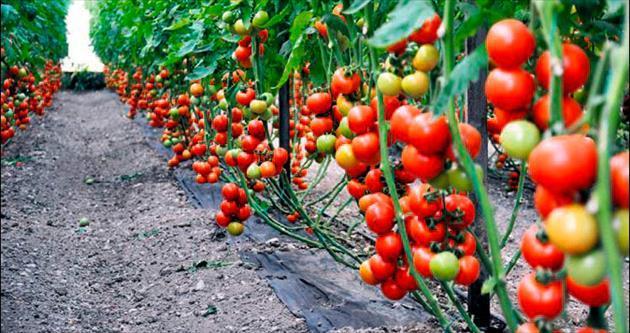 27 ton domates imha edildi