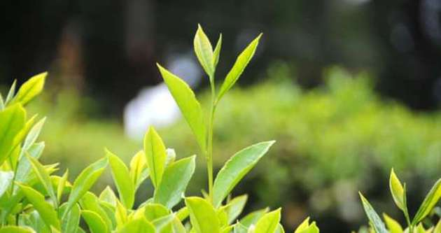 Rize'de yetişen beyaz çay kansere iyi geliyor