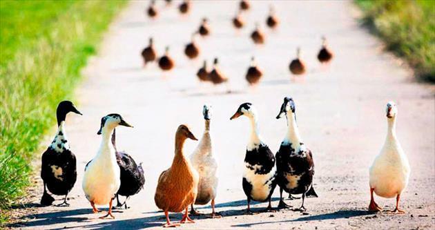 Binlerce ördek kenti işgal etti