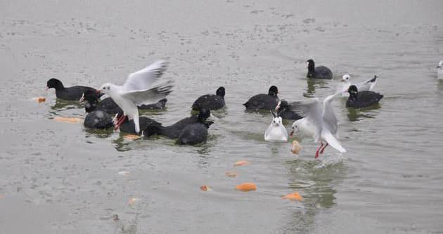 Aç kalan kuşların yiyecek kavgası
