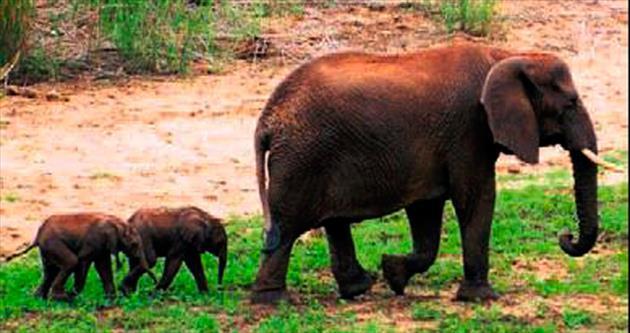 Sekiz yıl sonra ilk ikiz fil yavruları