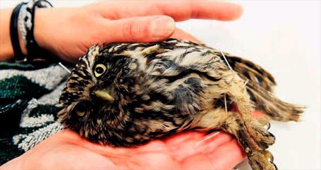 Bitkin baykuşa akupunktur