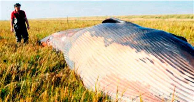 Tarlanın ortasında balina ölüsü buldu