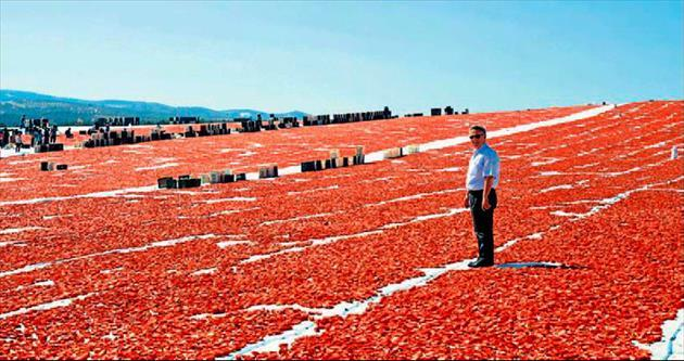 Salçalık domatesler İzmir ve Manisa'dan