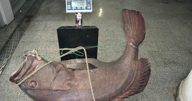 Saros'ta 66,5 kiloluk dev lağos balığı