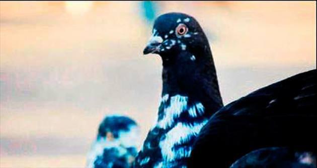Güvercini görene 28 bin lira ödül