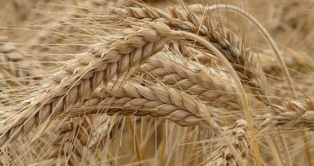 Tahıl üretim rakamları açıklandı