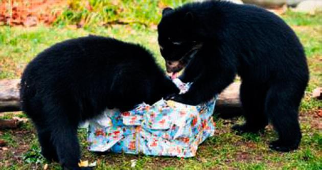 İkiz ayılar Noel hediyesiyle sevindi