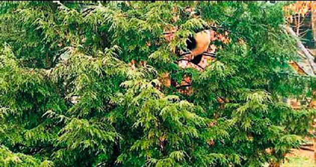 Elektrik çarpınca 24 saat ağaçtan inmedi