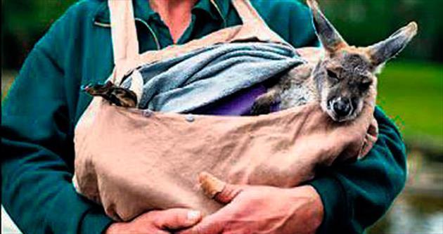 Öksüz kanguruları evlat edindiler