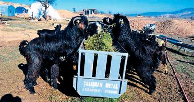 Üniversiteli keçilerin yarışı