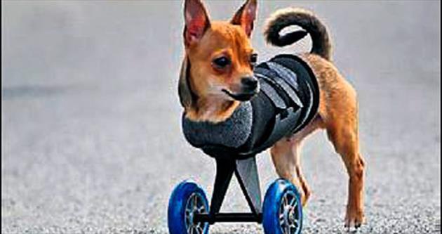 Engelli köpeğe tekerlekli yelek