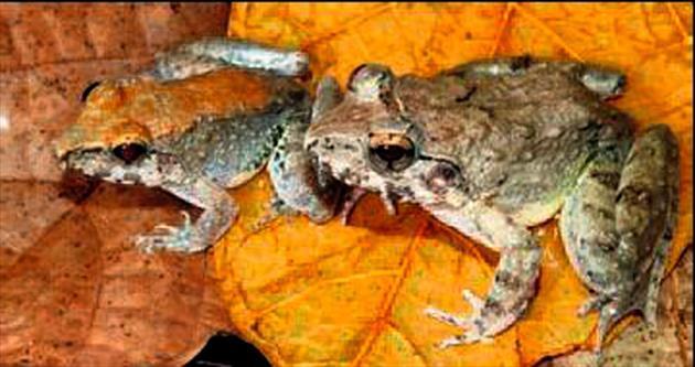 Doğurarak çoğalan kurbağa