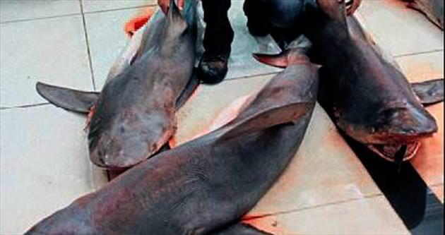 Akdeniz'de 7 tane dev köpek balığı yakalandı