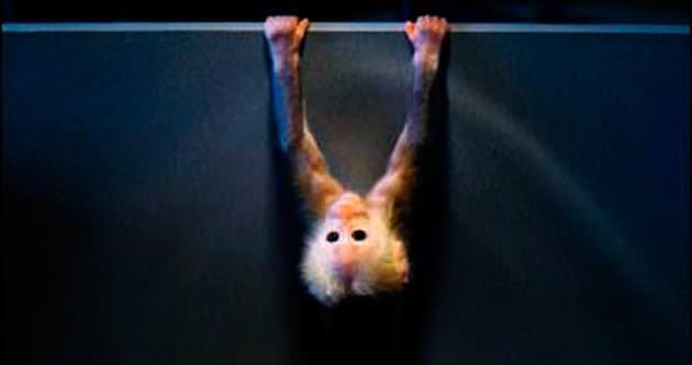 Bebek maymun jimnastikçilere özendi