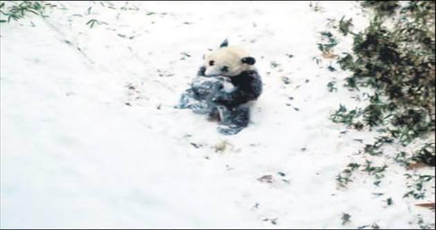 Yavru pandanın ilk kar sevinci