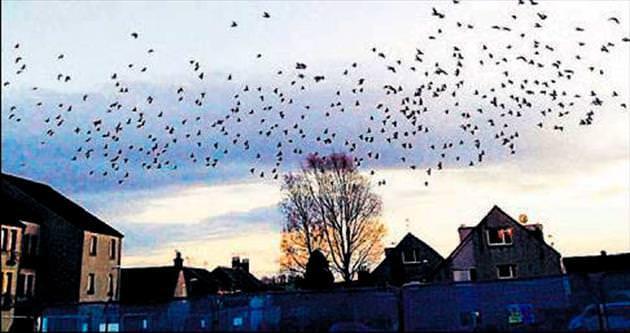 Binlerce güvercin kasabayı işgal etti