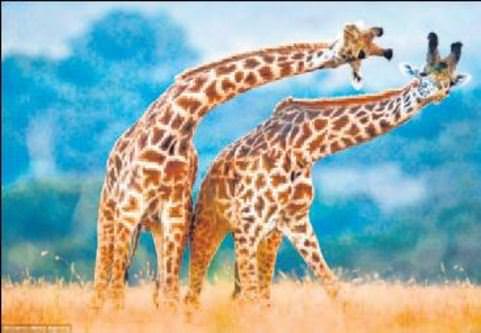 Zürafaların dans eder gibi dövüşü