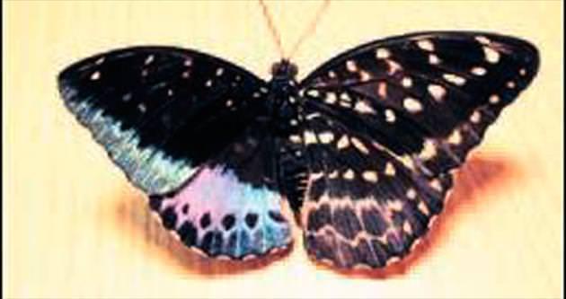 Çift cinsiyetli kelebek
