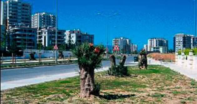 Büyükşehir: O ağaçları taşıdık