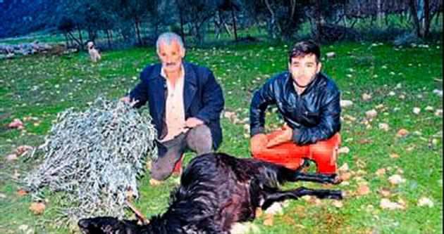 Demre'de keçiler ottan zehirlendi