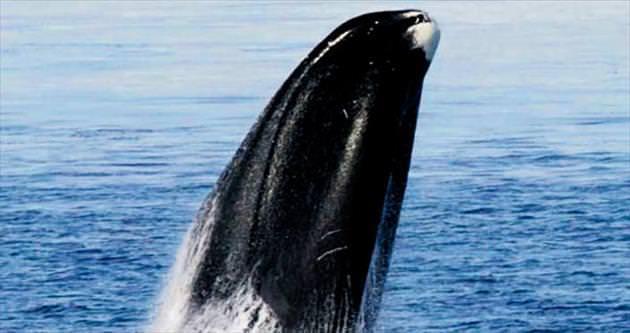 Uzun yaşamın sırrı bu balinada mı?