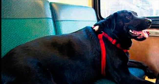 Otobüsle tek başına seyahat eden köpek