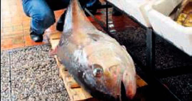 50 kiloluk dev akya yakalandı