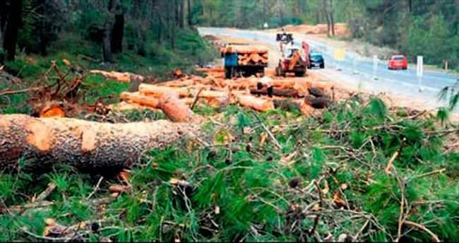 Villalara yol için 50 yıllık ağaçları kestiler