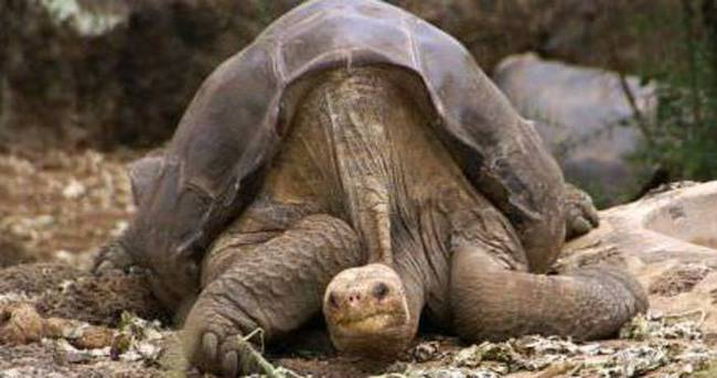 Pinta Adası kaplumbağası