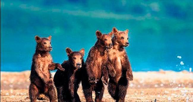 Balık tutan anne ayıyı 'hazır kıta' izlediler
