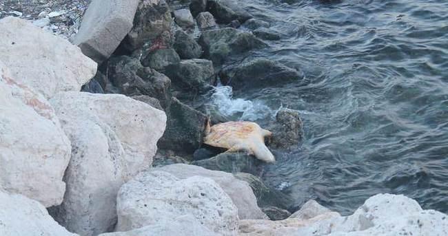 Ölü carette caretta sahile vurdu