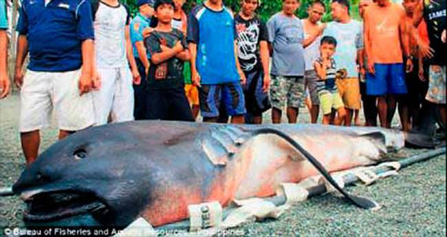 İşte 4.5 metrelik dişsiz köpekbalığı