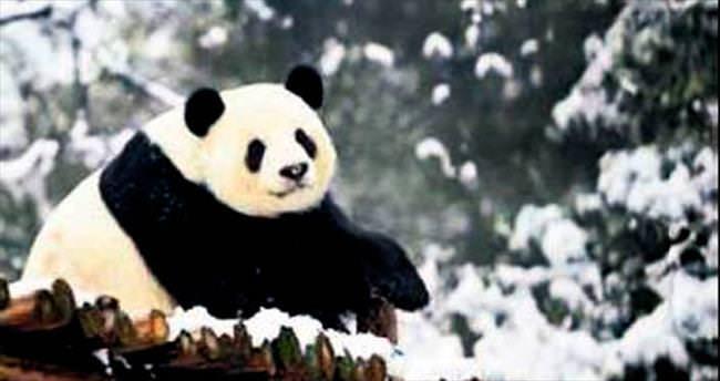 4 dev panda hastalık kurbanı