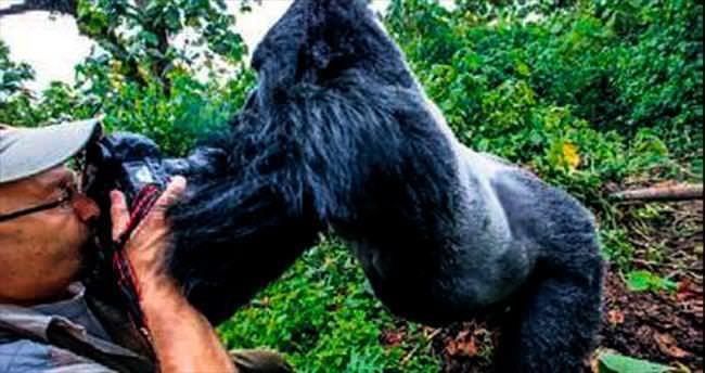 Asabi goril hırsını fotoğrafçıdan çıkardı