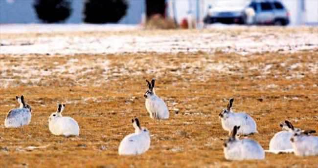 Dev tavşanlar parkları istila etti