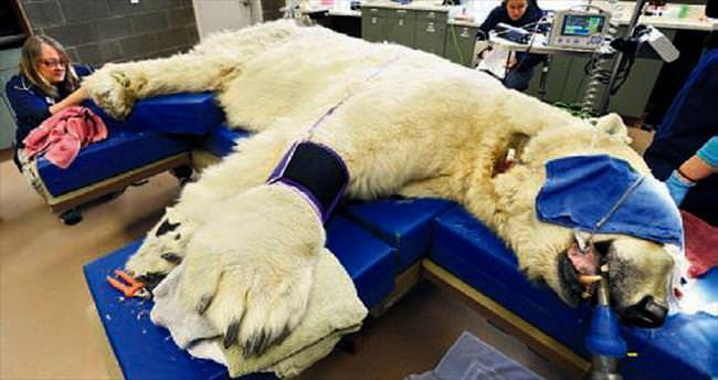 500 kiloluk kutup ayısı dişçiye giderse...