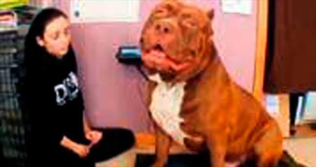 En büyük pitbull Hulk, 79 kilogram!