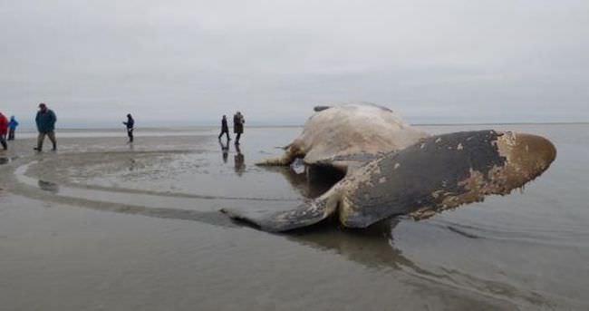 Dev balina karaya vurdu