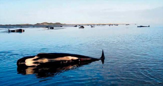 202 balina karaya vurdu, 140'ı öldü