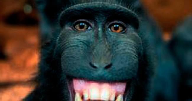 Şebek maymunu şebeklik yaptı