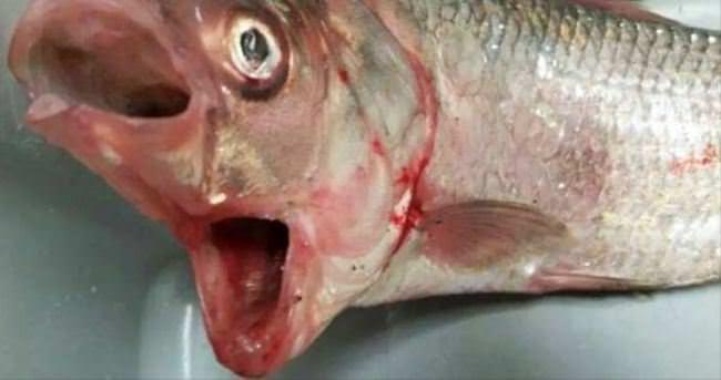 Görenleri hayrete düşüren balık
