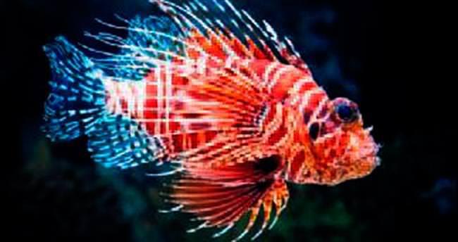 Güzel ama zararlı balık için av izni