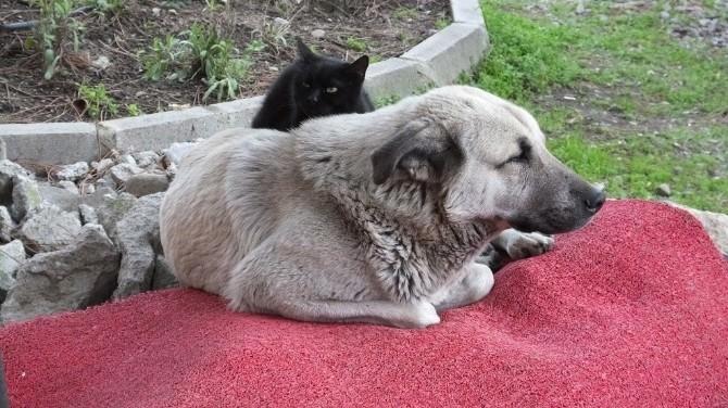 Kedi Dostu Köpek